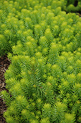 Angelina Stonecrop (Sedum rupestre 'Angelina') at Canadale Nurseries