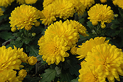 Golden Marilyn Chrysanthemum (Chrysanthemum 'Golden Marilyn') at Canadale Nurseries