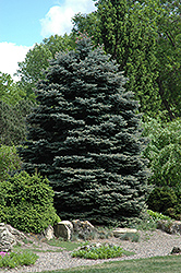Fat Albert Blue Spruce (Picea pungens 'Fat Albert') at Canadale Nurseries