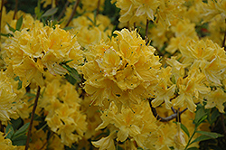 Lemon Lights Azalea (Rhododendron 'Lemon Lights') at Canadale Nurseries