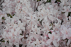 White Lights Azalea (Rhododendron 'White Lights') at Canadale Nurseries