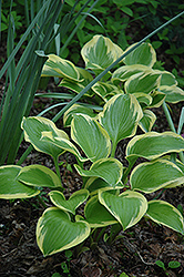 Queen Josephine Hosta (Hosta 'Queen Josephine') at Canadale Nurseries