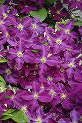 Jackmanii Superba Clematis (Clematis x jackmanii 'Superba') at Canadale Nurseries