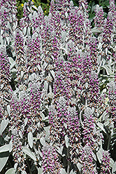Lamb's Ears (Stachys byzantina) at Canadale Nurseries