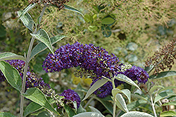 Adonis Blue™ Butterfly Bush (Buddleia davidii 'Adokeep') at Canadale Nurseries
