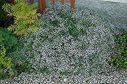 Common Baby's Breath (Gypsophila paniculata) at Canadale Nurseries