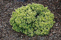 Golden Nugget Japanese Barberry (Berberis thunbergii 'Golden Nugget') at Canadale Nurseries
