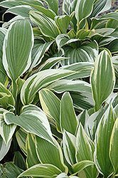 White-Variegated Hosta (Hosta fortunei 'Albomarginata') at Canadale Nurseries