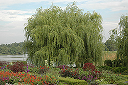 Golden Weeping Willow (Salix alba 'Tristis') at Canadale Nurseries