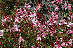 Butterfly Gaura (Gaura lindheimeri) at Canadale Nurseries