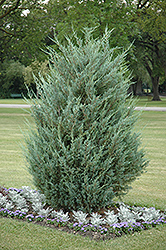 Moonglow Juniper (Juniperus scopulorum 'Moonglow') at Canadale Nurseries