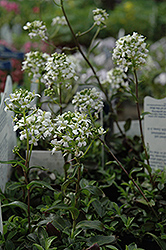 Mountain Wall Cress (Arabis x sturii) at Canadale Nurseries