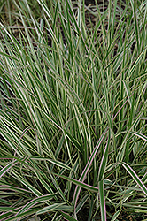 Variegated Reed Grass (Calamagrostis x acutiflora 'Overdam') at Canadale Nurseries