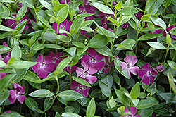 Burgundy Periwinkle (Vinca minor 'Atropurpurea') at Canadale Nurseries