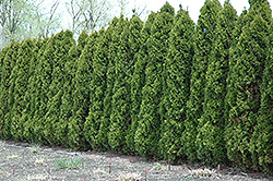 Hetz Wintergreen Arborvitae (Thuja occidentalis 'Hetz Wintergreen') at Canadale Nurseries