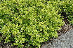 White Gold Spiraea (Spiraea japonica 'White Gold') at Canadale Nurseries