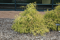 Sungold Falsecypress (Chamaecyparis pisifera 'Sungold') at Canadale Nurseries