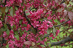 Profusion Flowering Crab (Malus 'Profusion') at Canadale Nurseries