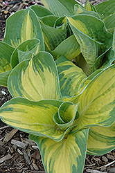 Great Expectations Hosta (Hosta 'Great Expectations') at Canadale Nurseries