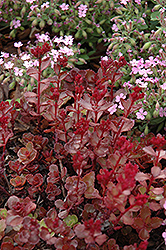 Red Carpet Stonecrop (Sedum spurium 'Red Carpet') at Canadale Nurseries