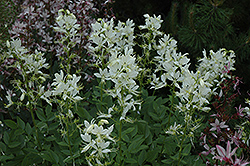 White Gas Plant (Dictamnus albus) at Canadale Nurseries