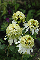 Coconut Lime Coneflower (Echinacea 'Coconut Lime') at Canadale Nurseries