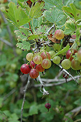 Pixwell Gooseberry (Ribes 'Pixwell') at Canadale Nurseries