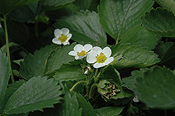 Everbearing Strawberry (Fragaria 'Everbearing') at Canadale Nurseries