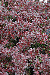 Cherry Bomb Japanese Barberry (Berberis thunbergii 'Monomb') at Canadale Nurseries