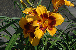 Black Eyed Susan Daylily (Hemerocallis 'Black Eyed Susan') at Canadale Nurseries