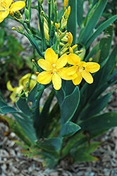 Hello Yellow Blackberry Lily (Belamcanda chinensis 'Hello Yellow') at Canadale Nurseries