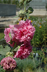 Chater's Double Pink Hollyhock (Alcea rosea 'Chater's Double Pink') at Canadale Nurseries