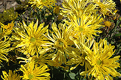 Golden Star Chrysanthemum (Chrysanthemum 'Golden Star') at Canadale Nurseries