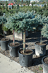 Globe Blue Spruce (tree form) (Picea pungens 'Globosa (tree form)') at Canadale Nurseries