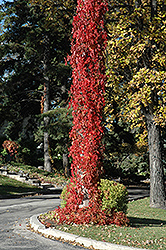Virginia Creeper (Parthenocissus quinquefolia) at Canadale Nurseries