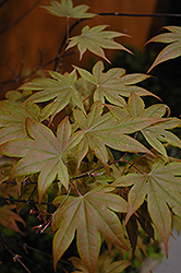 Purple-Leaf Japanese Maple (Acer palmatum 'Atropurpureum') at Canadale Nurseries