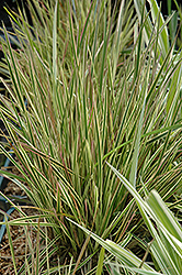 Northern Lights Tufted Hair Grass (Deschampsia cespitosa 'Northern Lights') at Canadale Nurseries