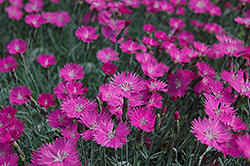 Firewitch Pinks (Dianthus gratianopolitanus 'Firewitch') at Canadale Nurseries