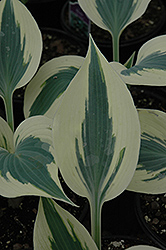 Blue Ivory Hosta (Hosta 'Blue Ivory') at Canadale Nurseries