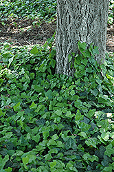 Baltic Ivy (Hedera helix 'Baltica') at Canadale Nurseries