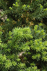 Hicks Yew (Taxus x media 'Hicksii') at Canadale Nurseries