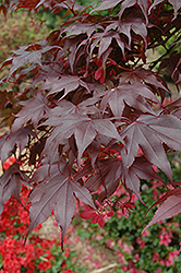 Bloodgood Japanese Maple (Acer palmatum 'Bloodgood') at Canadale Nurseries
