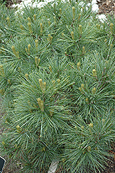 Blue Shag White Pine (Pinus strobus 'Blue Shag') at Canadale Nurseries