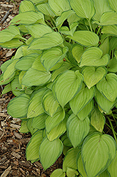 Emerald Tiara Hosta (Hosta 'Emerald Tiara') at Canadale Nurseries