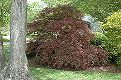 Garnet Cutleaf Japanese Maple (Acer palmatum 'Garnet') at Canadale Nurseries
