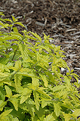 Sunshine Blue Caryopteris (Caryopteris incana 'Jason') at Canadale Nurseries