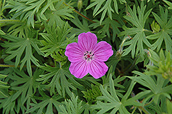 Tiny Monster Cranesbill (Geranium 'Tiny Monster') at Canadale Nurseries