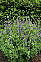 Blue Wild Indigo (Baptisia australis) at Canadale Nurseries