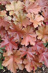 Mahogany Coral Bells (Heuchera 'Mahogany') at Canadale Nurseries