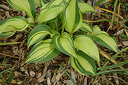 Rainbow's End Hosta (Hosta 'Rainbow's End') at Canadale Nurseries
